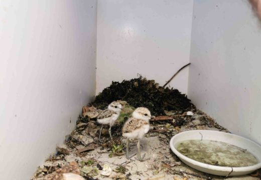 Nacen os primeiros exemplares de 2019 de píllara das dunas no Centro de Recuperación de Fauna Salvaxe de Santa Cruz, en Oleiros