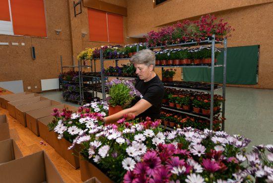 O departamento de Desenvolvemento local empeza a distribuír a planta do certame «San Sadurniño en flor»