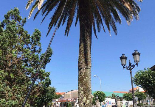 O Concello de Noia aplícalle ás palmeiras a segunda dose do tratamento anual contra o picudo vermello