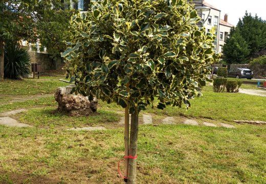 Efectuada a plantación dun acevo con motivo da campaña Unha árbore por Europa