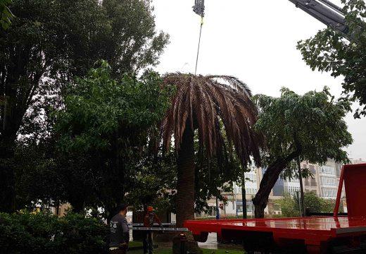 Retiradas varias palmeiras por mor do picudo vermello